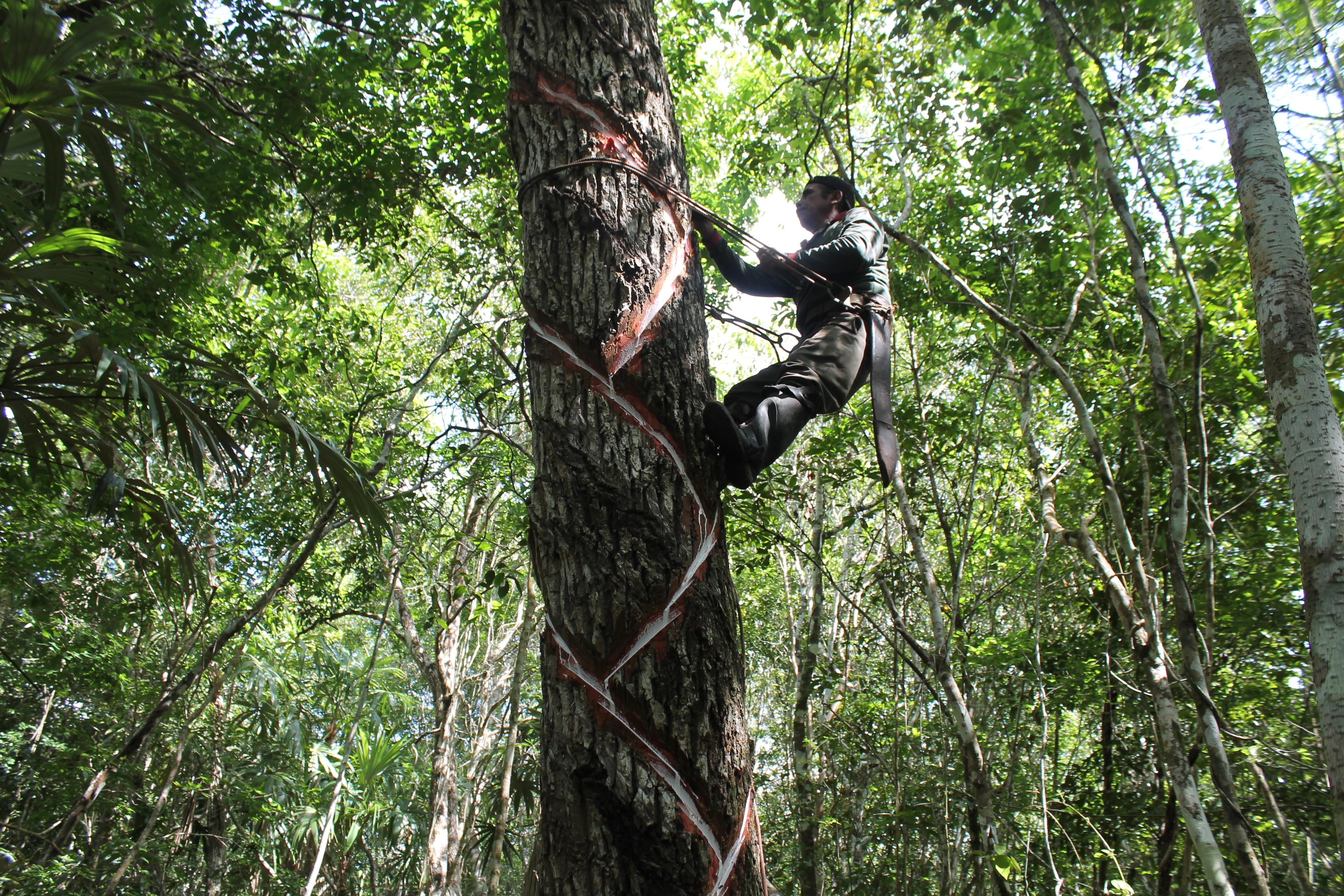Sierra Magazine: Making Gum in the Mayan Rainforest