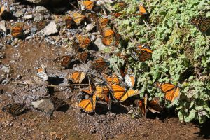 Mongabay: Deforestation and mining threaten a monarch butterfly reserve in Mexico
